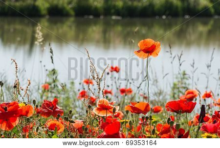Fragile Poppy Flower Rises Above The Rest