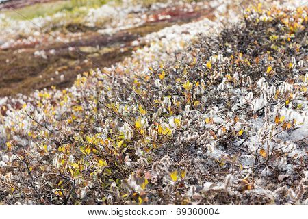 Salix Glauca Or Gray Willow In Greenland