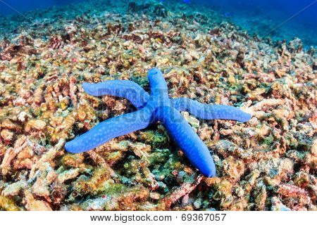 Starfish on a dead, bleached reef