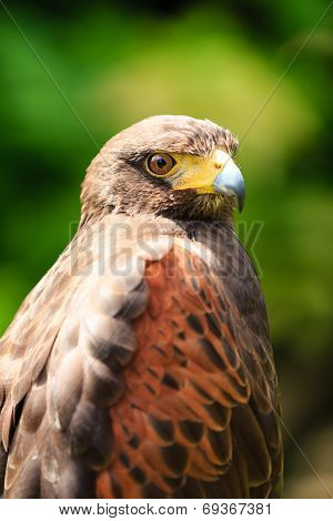 Close Up Of A Falcon