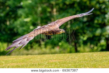 Sea Eagle Swooping Low Over A Field