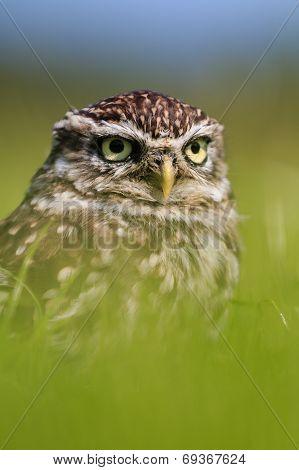 Little Owl Hiding In Long Grass