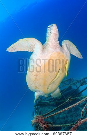 Green Turtle With Remora Swimming