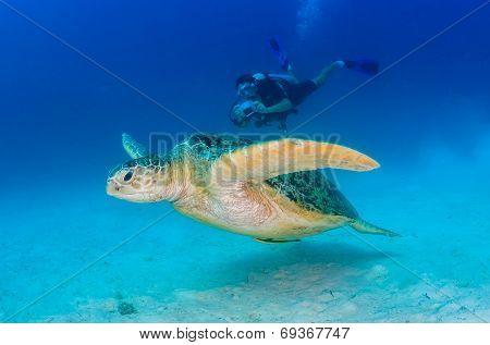 Green Sea Turtle And Scuba Diver
