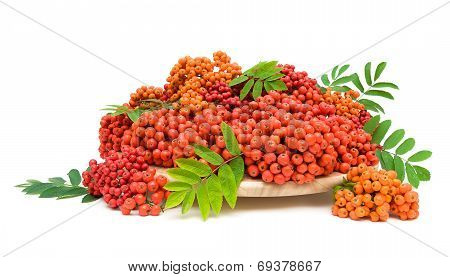 Red Rowan Berries Close-up On White Background