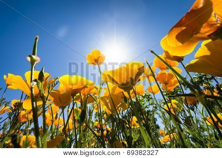 Yellow Poppies In A Texas Vineyard