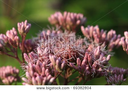 Joe-pye Weed flower