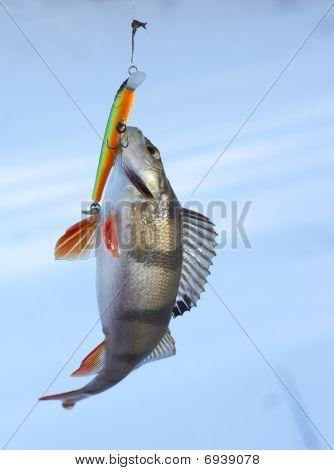 Perch Caught On Plastic Twitchbait