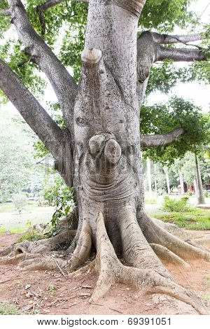 A very thick central trunk of a Mahogany tree
