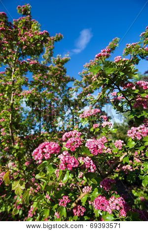 Bloosoming Pink Flowers Of Hawthorn Tree