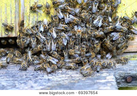 A swarm  of bees at the entrance of beehive in apiary in the summertime