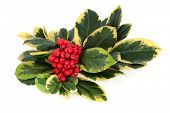 image of aquifolium  - Variegated holly with red berry cluster over white background - JPG