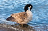 stock photo of canada goose  - Single Canada goose with ruffled feathers preening in shallow water.