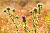 pic of scottish thistle  - Thistle cluster with pink flowers backlit with the summer sun at orange grass field - JPG