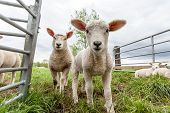 stock photo of spring lambs  - Two baby lamb stay in the meadow - JPG