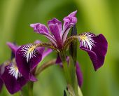 pic of purple iris  - Close up on harlequin or larger or northern blue flag - JPG