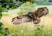 foto of bird fence  - A large Eagle Owl prepares to land on a fence - JPG