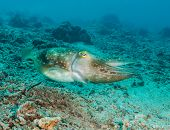stock photo of cuttlefish  - Hooded Cuttlefish swimming over a broken coral sea bed - JPG