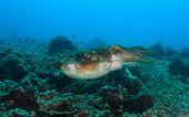 stock photo of cuttlefish  - Large Cuttlefish swims over a tropical reef - JPG