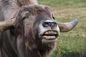 foto of yaks  - A yak streching out and making noises - JPG