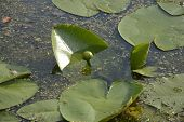 stock photo of water lily  - Bud water lilies - JPG