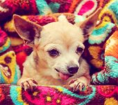 stock photo of mutts  -  a cute chihuahua wrapped in a paisley throw blanket toned with a retro vintage instagram filter  - JPG