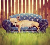 foto of pooch  - a cute chihuahua napping on a couch toned with a retro vintage instagram filter - JPG