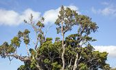 picture of puffy  - Mature tree against puffy clouds and blue skies in Makawao Maui Hawaii - JPG