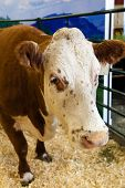 pic of dairy barn  - Focus on the head of a cow at a dairy farm - JPG