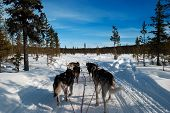 picture of laplander  - Huskies pulling a sled through a frozen forest in Lapland - JPG
