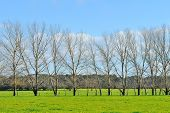 picture of cottonwood  - Line of Cottonwood trees in lush farmland - JPG