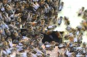 stock photo of swarm  - A swarm  of bees at the entrance of beehive in apiary in the summertime - JPG