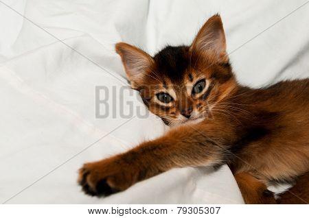 Lying Kitten Portrait