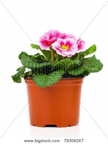 Beautiful Pink Primula In Flowerpot