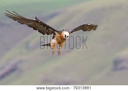 Adult Bearded Vulture Landing On Rock Ledge Where Bones Are Available