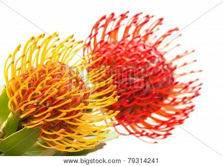 Red And Orange Protea Flowers
