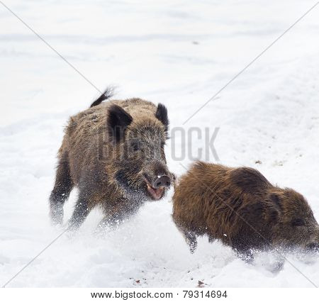 Wild Boars On Snow