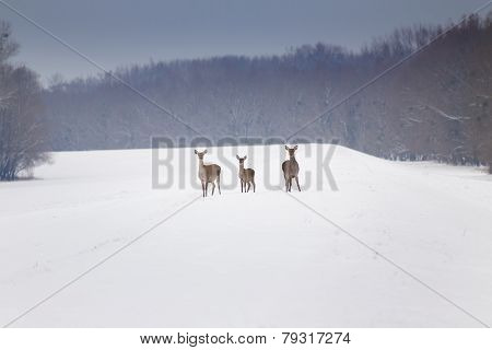 Hinds On Snow
