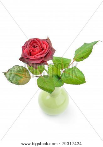 withering rose in a small vase isolated over white