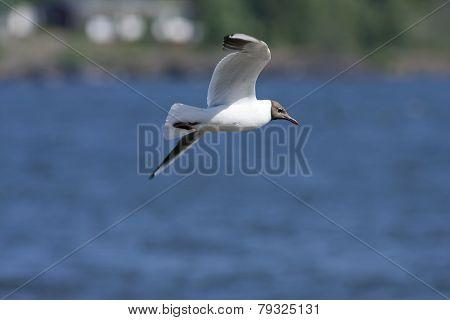 Black-headed Gull flying in the blue sky.