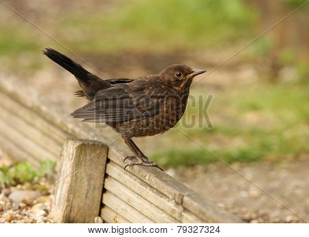 Young Femail Blackbird