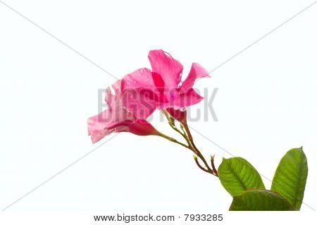 Isolated Pink Petunia