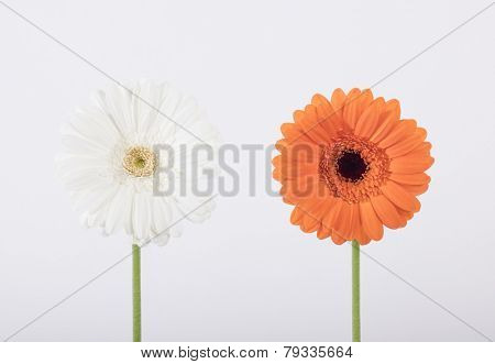 White and orange flower on white background