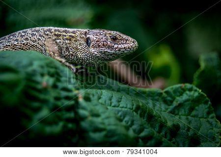 The Lurking Lizard