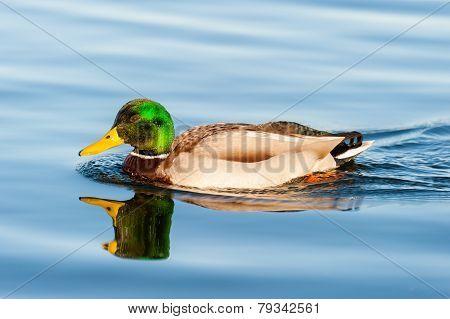 Male mallard swimming into lake