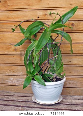 Basket Plant (callisia Fragrans)