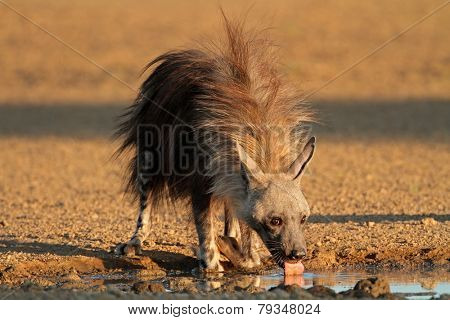 A brown hyena (Hyaena brunnea) drinking water, Kalahari desert, South Africa