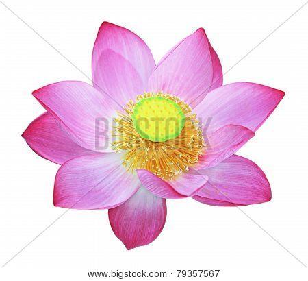 Simply Lotus