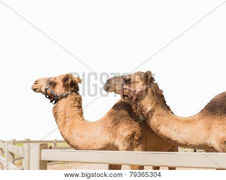 Two Camels Isolated