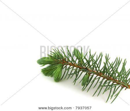 Firry Twig